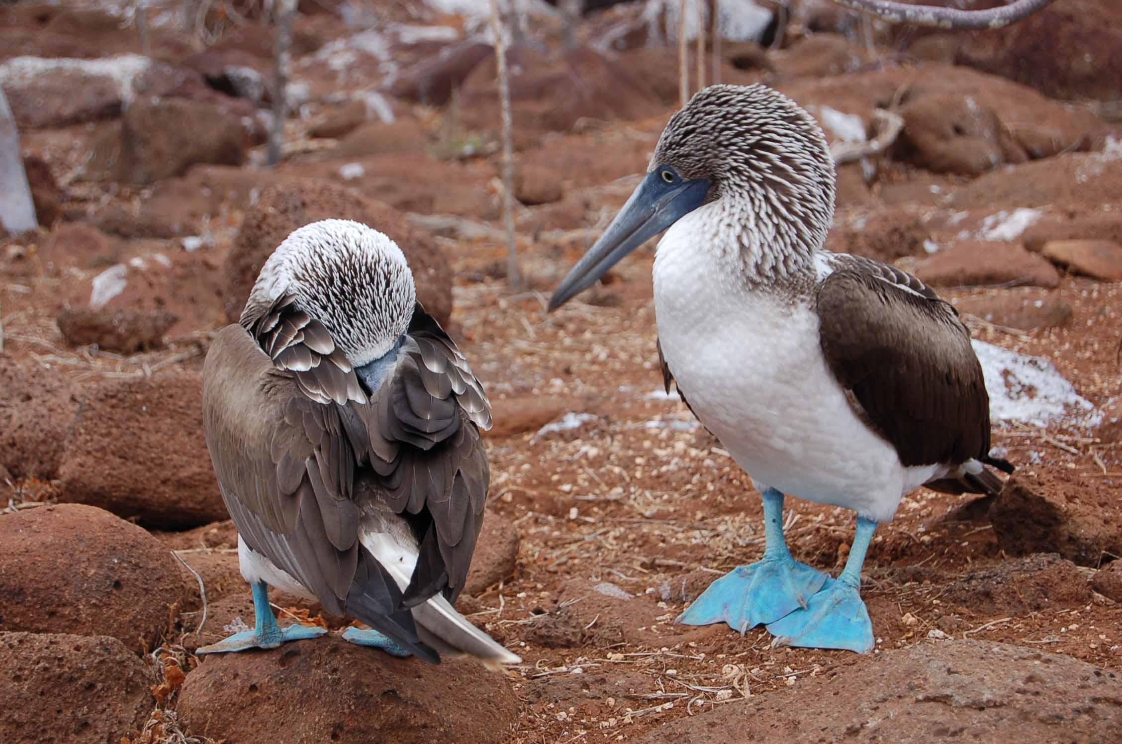סולות כחולות רגליים בסיימר הצפוני