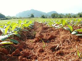 צמח טבק , וינאלס, קובה